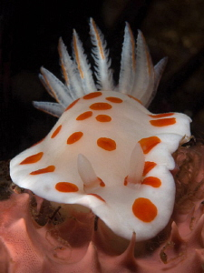 Chromodoris tasmaniensis, Bare Island. by Doug Anderson 